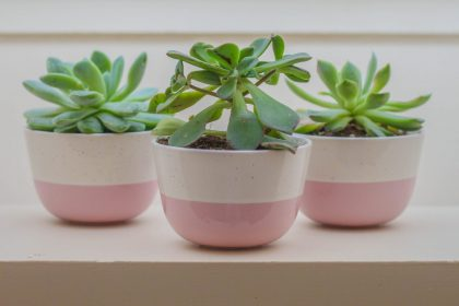 three succulents in pink pots