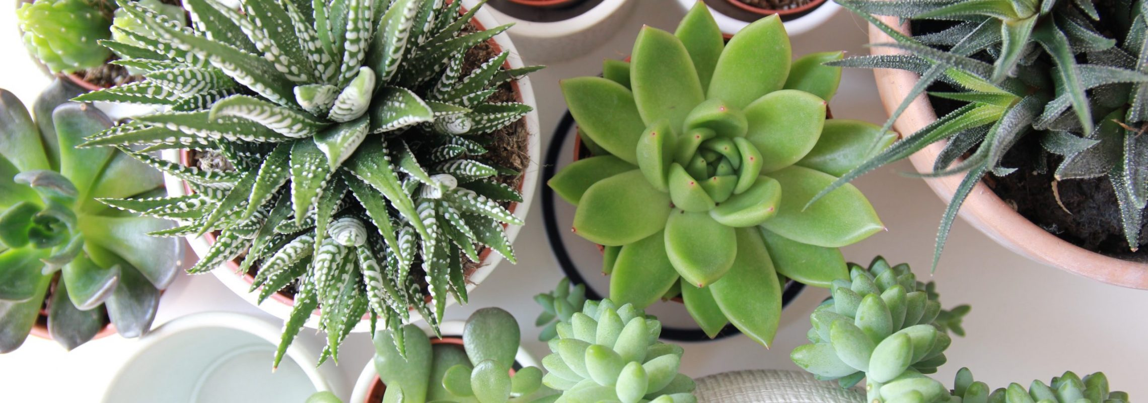 Image of Potted Succulents